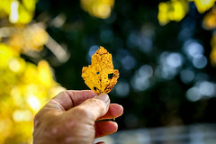 Yellow leaf - autumn (DT's Photo Site - Anderson S.C.) Tags: canon 6d sigma 35mm14 art lens andersonsc upstate south carolina bokeh magic blur photography yellow maple leaf yard shade fall autumn foliage beauty color scenic hand finger southernlife america usa