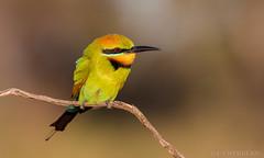 Rainbow Bee-eater (chrissteeles) Tags: rainbowbeeeater beeeater bird birding pengillyscrub roseworthy southaustralia sa