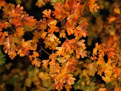 Autumn Leaves 024 (saxonfenken) Tags: 6862trees 6862 leaves autumn many manyofthesame shallpowdof dof challengeyouwinner cyunanimous tcf gamewinner