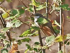 Yellow-billed Cuckoo (Bill Bunn) Tags: yellowbilledcuckoo falmouth maine