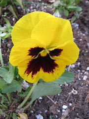 Yellow Pansy. (dccradio) Tags: lumberton nc northcarolina robesoncounty outdoors outside nature natural morning goodmorning nikon coolpix l340 bridgecamera flower flowers floral flowerbed flowergarden plant pansy pansies