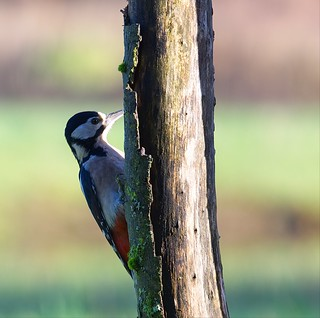 Great Spotted Woodpecker ~ Explored