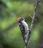 Male Nuttall's woodpecker (julesnene) Tags: julesnene juliasumangil backyard garden bird canon7dmarkii canon7dmark2 canonef70200mmf4lusmlens woodpecker nutallswoodpecker male nature