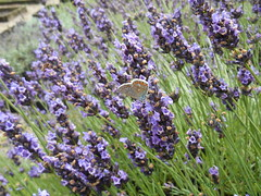 Grosso & Common Blue (Landstrider1691) Tags: butterfly lavender lavenderfarm stbrelade jersey channelislands lavendergrosso lavendulagrosso commonblue
