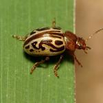 Zygogramma Beetle thumbnail