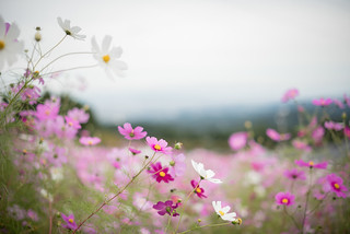 14102017_cosmos flowers