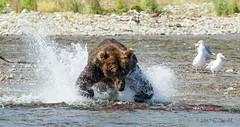 The Lunge  (Explored) (cheryl strahl) Tags: alaska ak katmainationalparkandpreserve sockeyesalmon fishing grizzlybears explore flickrexplore