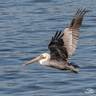 Adult Brown Pelican in Non-Breeding Plummage