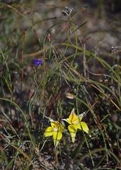 Caladenia flava ssp flava, Toolibin, east of Narrogin, WA, 15/09/17 (Russell Cumming) Tags: plant caladenia caladeniaflava caladeniaflavaflava orchidaceae toolibin narrogin westernaustralia