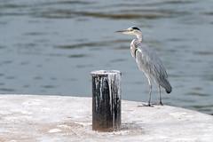 Grey Heron  -  Graureiher (CJH Natural) Tags: heron greyheron graureiher waiting concrete perch nature industrial