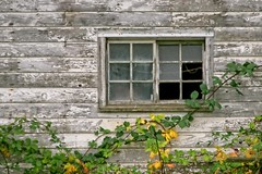 Barn and Autumn Blackberries 293 D (jim.choate59) Tags: fallseason autumn blackberries vine barn decay ruraldecay peelingpaint brokenwindow window wall rural jchoate leaves b700 coolpix