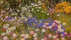 Springtime at Kings Park, Western Australia! (Jhopne) Tags: perth wa australia canonef2470mmf28lusm canoneos5dmarkii flowers flower