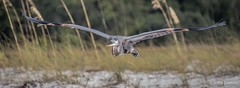 Looking for a safe place! (flintframer) Tags: great blue heron florida pensacola nas wildlife nature inflight flight color wow dattilo america american canon eos7d markii tamron 18400mm beach