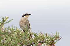 Singing Honeyeater (Lichenostomus virescens) (Ian Colley Photography) Tags: singinghoneyeater lichenostomusvirescens portaugusta southaustralia bird canoneos7dmarkii 500mm