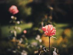 Autumn garden (Petr Horak) Tags: novýknín středočeskýkraj czechia cze rose garden gardening olympus penf mft dof bokeh flower