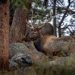 Bull elk with his harem in Rocky Mountain National Park near Estes Park, Colorado thumbnail