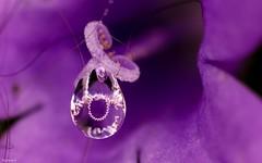 Drop - 3968 (YᗩSᗰIᘉᗴ HᗴᘉS +12 000 000 thx❀) Tags: pistil macro drop flower supermacro droplet water violet color hensyasmine eau goutte flora 7dwf