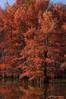 Born on the bayou (Pierrotg2g) Tags: cyprèschauves boulieu nature paysage landscape arbre tree automne nikon d90 tamron 70200