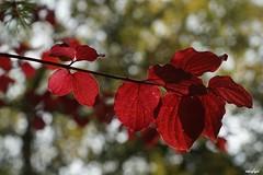 Couleurs d'automne (Missfujii) Tags: feuille automne saison