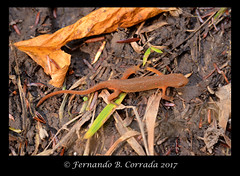 DSC_7287_copy_sm (fbc57) Tags: nikond800 bristol bristolwetland vermont sigma150f28exapomacro reptiles newts easternnewt redeft easternredspottednewt salamandridae