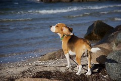 I love my life (Rockpott) Tags: hund wasser beagle tier ocean ozean meer strand beach sand felsen farben natur nature nikon color wind beachlife dog bestfriends nikond750 lovemylife sunnyday holiday ears