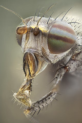 Lauxaniidae, Calliopum sp (dorolpi) Tags: