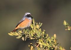 Rougequeue à front blanc (m-idre31 - 6 millions de vues merci) Tags: oiseau bird aves espagne hautaragon loarre rougequeueàfrontblanc