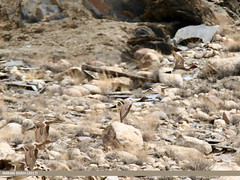 Northern Pintail (Anas acuta) & Eurasian Wigeon (Anas penelope) (gilgit2) Tags: avifauna birds borit canon canoneos7dmarkii category eurasianwigeonanaspenelope fauna feathers geotagged gilgitbaltistan gojal imranshah location northernpintailanasacuta pakistan species tags tamron tamronsp150600mmf563divcusd wildlife wings gilgit2 anasacuta anaspenelope birds11