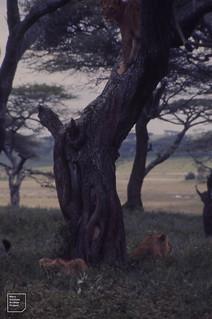 Lions, arboreal and terrestrial. Ndutu