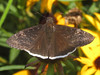 Funereal duskywing (Erynnis funeralis) (tigerbeatlefreak) Tags: funereal duskywing erynnis funeralis insect butterfly skipper lepidoptera hesperiidae stillwater oklahoma