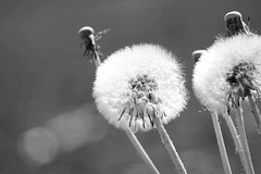 Dandelions (ronjamosquito) Tags: bw flowers dandelions