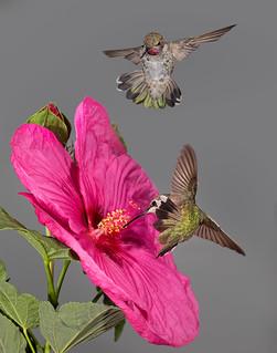 Hibiscus lovers