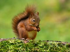Young red squirrel (robin denton) Tags: squirrel redsquirrel yorkshiredales autumn forage foraging animal nature wildlife wensleydale yorkshire northyorkshire sciurusvulgaris moss