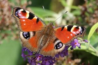 A Peacock Butterfly. (Aglais io).
