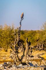 A tawny eagle on a tree trunk, Ombika Waterhole, Etosha National Park, Namibia (Ulrich Münstermann) Tags: africa afrika etoshanationalpark ferien metazoa namibia ombikawaterhole oshikotoregion reise tawnyeagle tiere animal animalia animalsanimalia aquilarapax aves birdsaves chordata chordates dieren game gamedrive holiday reizen safari travel tree treetrunk vakantie wildlife