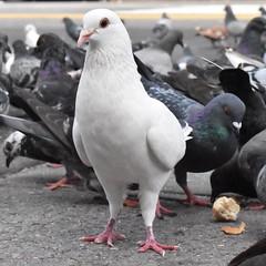 DSC_0208 (alwaysanalias) Tags: bird pigeon urban urbanlife urbannature street streetphotography streetscene city citylife cityscene naturephotography naturephoto newyork nyc nyclife manhattan uptown inwood 207st