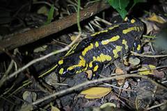 IMG_1467 (Laurent Lebois ©) Tags: laurentlebois france amphibien batracien amphibians afibi anfibio amphibia triton salamandre salamander salamandra tritone саламандра urodela hepetology herping