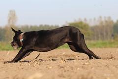 IMG_012250 - Speed record (Monique van Gompel) Tags: flickrfriday raisethebar zaynah canecorso tamronsp90mmf28dimacro11vcusd canoneos80d dog speed