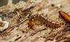 Banded Centipede - Lithobius variegatus (markhortonphotography) Tags: autumn stripedstonecentipede swinleyforest markhortonphotography nature centipede berkshire myriapod macro wildlife thatmacroguy lithobiusvariegatus invertebrate