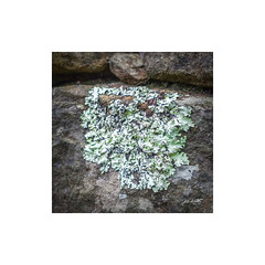 Lichen (TOXTETH L8) Tags: lichen bacteria fungi pollution air sonyrx100m4