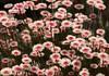 Wildflowers Perth Western Australia (Maureen Pierre) Tags: wildflowers flowers perth westernaustralia