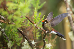 Rainbow-bearbed thornbill (Chalcostigma herrani) extending its wings (Chris Jimenez Nature Photo) Tags: picoespinaarcoiris birding hummers zumbadores nature birds manizales humminbird chalcostigmaherrani colibrie colorful wildlife rainbowbearbedthornbill picaflores colombia rainbow rare chrisjimenez