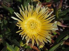 P9160244 West Coast National Park Flowers (Joanna P Dale) Tags: westcoastnationalpark flowers scenery southafrica omdem1 mk1 olympus 35mmzuiko 35mmmacro