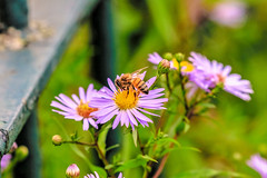 he Bee near a fence (I was blind now I see!) Tags: bee flower closeup stem flowers bees bokeh fence metal rust nature pollenation leaves scene