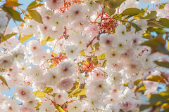 Sakura saku (bazazga) Tags: sakura cherry floweringcherry japanesecherry shirofugen prunusserrulata cherryblossom spring sky pink white leaves flowers 7dwf