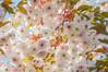 Sakura saku (bazazga) Tags: sakura cherry floweringcherry japanesecherry shirofugen prunusserrulata cherryblossom spring sky pink white leaves flowers 7dwf