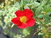 'Red Lady' (Landstrider1691) Tags: potentilla redlady potentillaredlady shrub red redflower brightred garden