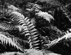 IMG_20171020_0004 (Filmphotographic98) Tags: film photography medium format shootfilm forestry trees woodland ferns tunnel bristol somerset