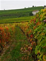 Langhe Vineyard View (Professor Bop) Tags: grapevines wine langhe italy piemonte professorbop drjazz olympusem1 autumn foliage nebbiolo mosca