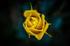 Yellow Dream (Explored Oct 24th, 2017) (kietbull) Tags: dof closeup em5markii summilux leica kietbull dusk darkness amaranth flower rose rosy twilight night nightly explored blossom blooming